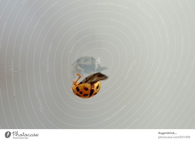 like, like, like, like... Animal Beetle Ladybird 1 Glass Wait Natural Curiosity Gray Peaceful Serene Patient Calm Inspiration Mirror image Subdued colour
