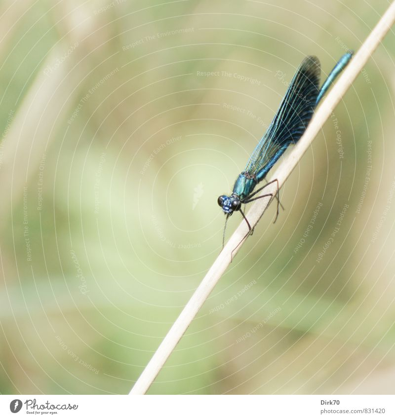 Magnificent Animal Summer Plant Grass Common Reed Blade of grass River bank Brook Wümme Wild animal Wing Insect Dragonfly Dragonfly wings Demoiselles 1 Hang