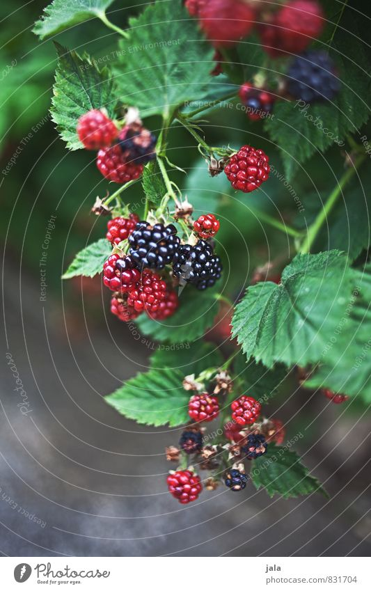 Nature Plant Leaf Environment Natural Healthy Garden Fruit Bushes Fresh Esthetic Delicious Agricultural crop Blackberry Blackberry bush