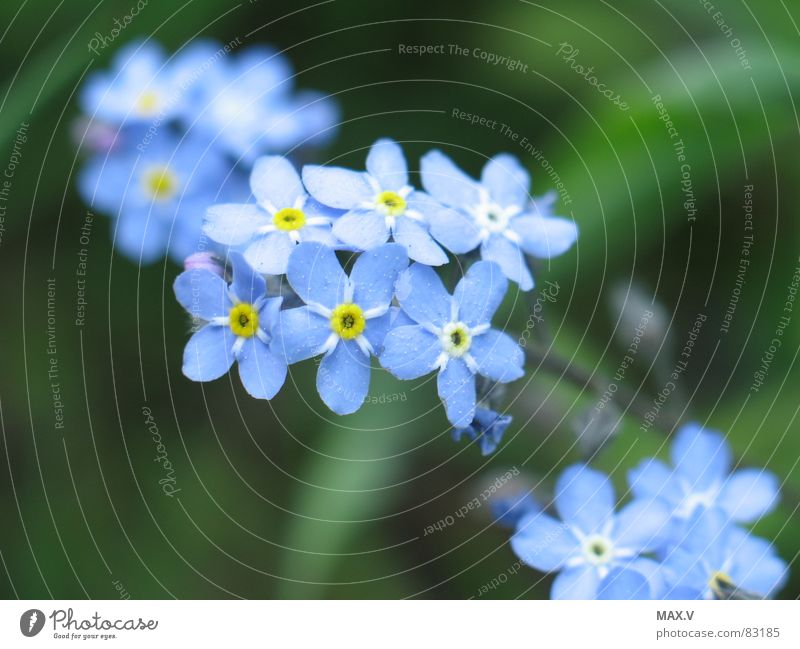 proximity Forget-me-not Boraginaceae Flowering plant Blossom Green Plant Memory Macro (Extreme close-up) Blue Nature