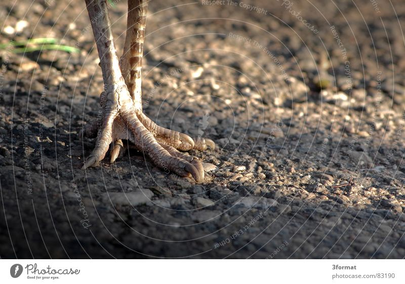 Gray Stone Feet Sand Legs Bird Going Walking To go for a walk Feather Zoo Gravel Claw Peacock Berlin zoo