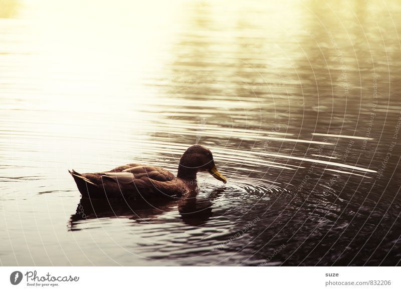The duck approaches ... Environment Nature Elements Water Autumn Pond Lake Animal Wild animal 1 Swimming & Bathing Esthetic Dark Brown Yellow Emotions Moody