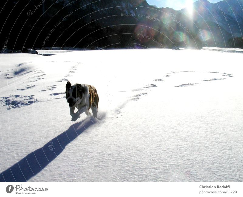 snow Intuition Dog Snowscape Weather Hundred-metre sprint Winter Powder snow Edge of the forest Cold Ice Joy Animal snowclad landscape bernhardiner hairpin bend