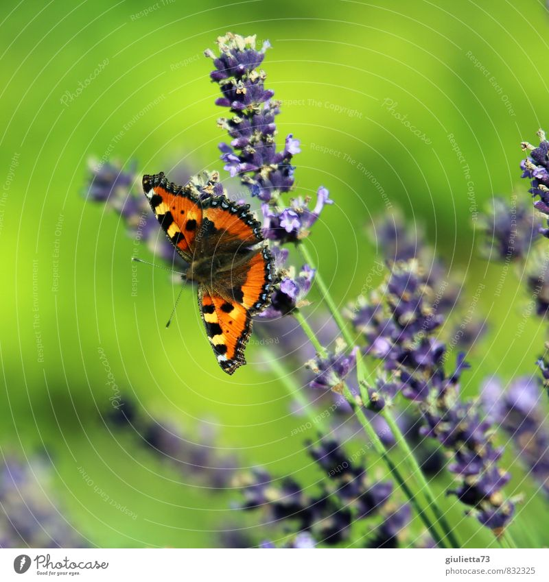 Small fox on lavender Nature Plant Animal Sun Summer Beautiful weather Blossom Lavender Garden Meadow Butterfly 1 Observe Blossoming Green Violet Orange Happy