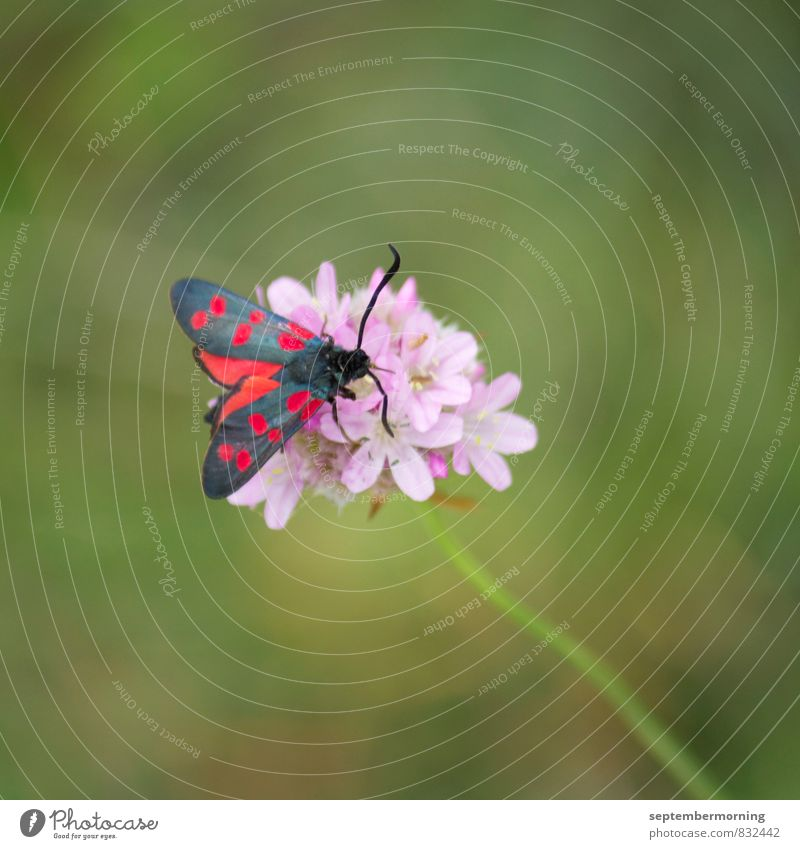 butterfly Summer Blossom Animal Butterfly 1 Blossoming Sit Green Pink Red Contentment Colour photo Exterior shot Close-up Deserted Day Shallow depth of field