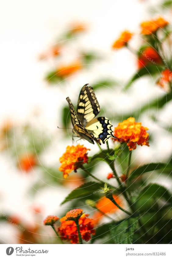 beauty Plant Animal Spring Summer Beautiful weather Garden Park Wild animal Butterfly 1 Elegant Exotic Natural Nature Swallowtail Colour photo Multicoloured