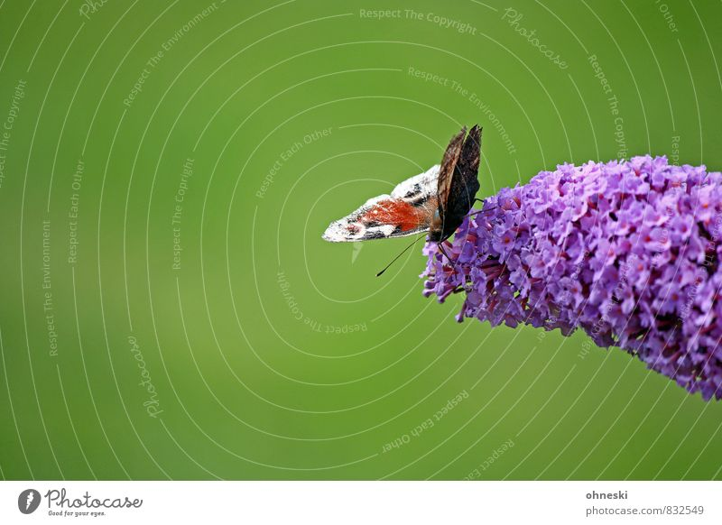 On the Abyss Blossom Fabaceae Animal Butterfly Insect Peacock butterfly 1 Fresh Green Violet Idyll Life Nature Colour photo Multicoloured Exterior shot