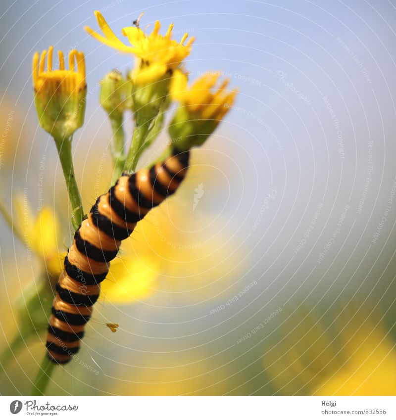 insatiable Environment Nature Plant Animal Sky Summer Beautiful weather Flower Blossom Wild plant Meadow Wild animal Caterpillar Cinnabar moth 1 Blossoming