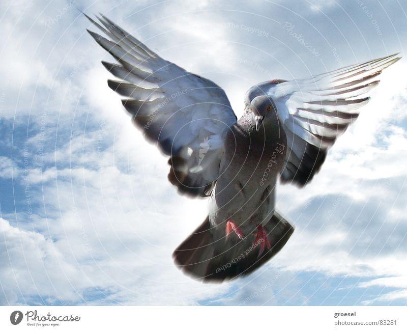 dove in venice Pigeon Venice Clouds Peace Bird Aviation Feather Wing