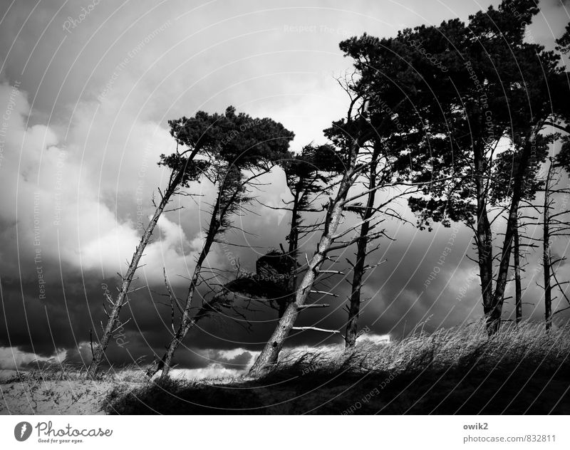 westerly Environment Nature Landscape Plant Sky Clouds Horizon Climate Weather Storm Wind Gale Thunder and lightning Tree Wild plant Branch Wind cripple Pine