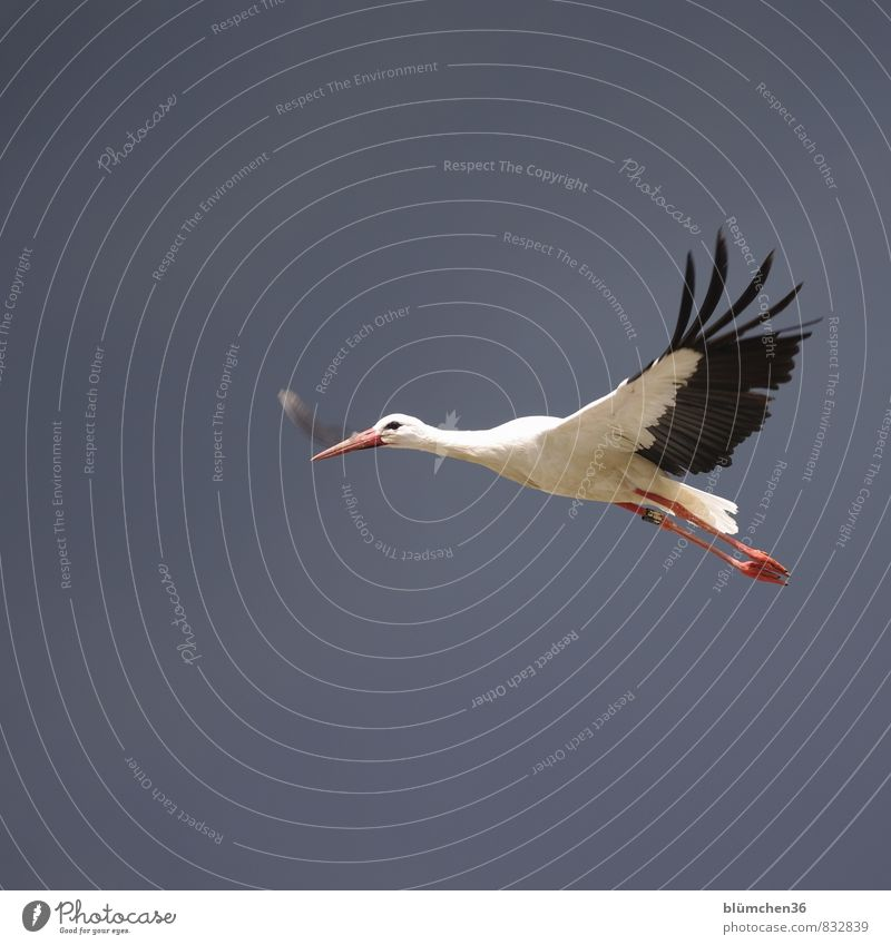 as light as a feather Animal Wild animal Bird Stork White Stork Stride bird Flying Carrying Esthetic Elegant Beautiful Natural Red Black Beak Feather Posture
