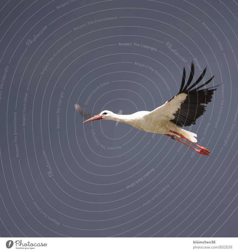 Beautiful White Red Animal Black Natural Flying Bird Elegant Wild animal Aviation Free Large Esthetic Feather Trip