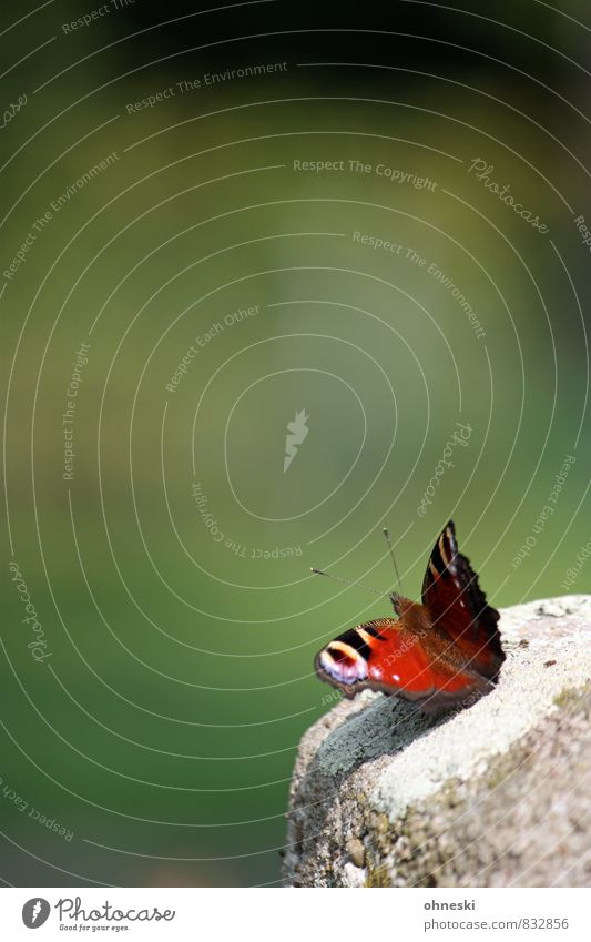 initial phase Animal Garden Butterfly Peacock butterfly Insect 1 Multicoloured Green Red Idyll Colour photo Exterior shot Copy Space left Copy Space top