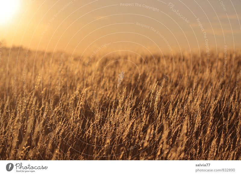 evening mood Summer Summer vacation Sun Nature Landscape Plant Climate change Beautiful weather Warmth Drought Grass Meadow Faded To dry up Brown Gold Moody