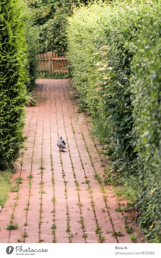 pedestrian Summer Hedge Lanes & trails Pigeon 1 Animal Going Loneliness Paving stone Brick Single-minded Colour photo Exterior shot Deserted