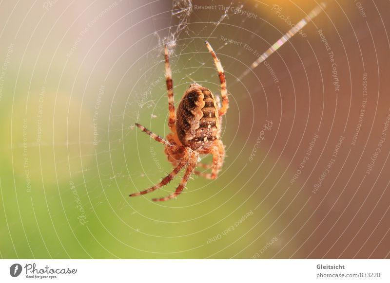 I have time... Nature Plant Animal Beautiful weather Wild animal Spider Cross spider 1 To feed Hang Hunting Wait Threat Creepy Brown Multicoloured Yellow Gold