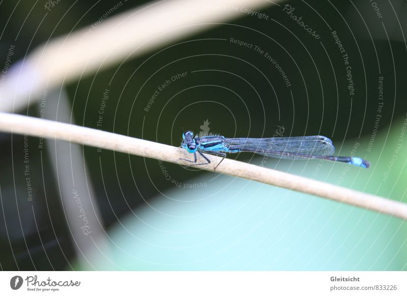 pretty round, this blade... Nature Animal Summer Plant Grass Wild plant Common Reed Bog Marsh Pond Wild animal Dragonfly 1 Blue Brown Green Black Colour photo