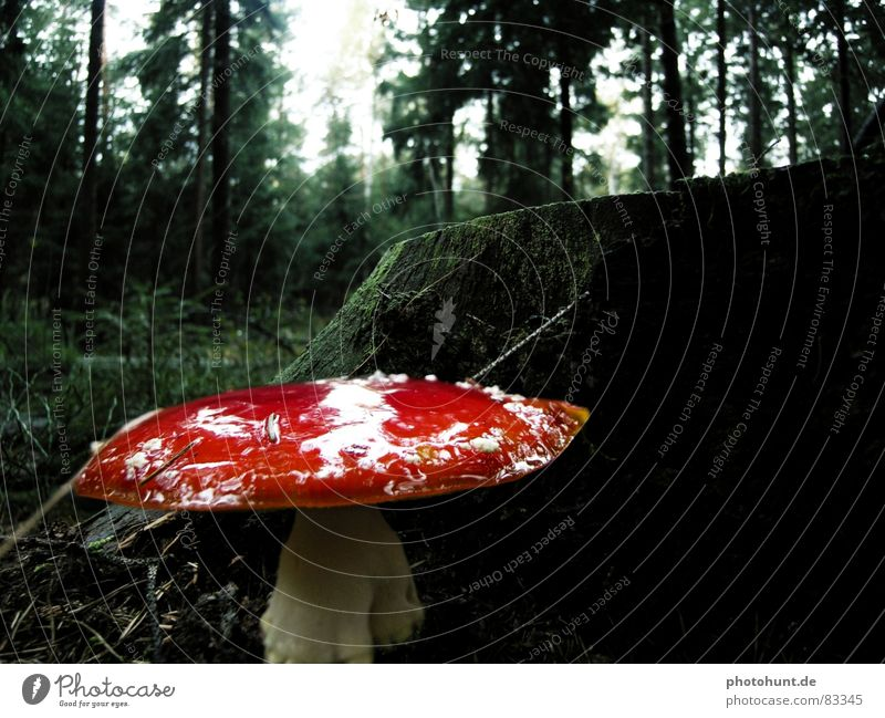 toadstool Wood flour Tree stump Forest Dark Poison Woodground Mysterious fly agaric forest floor dull toxic attention Caution