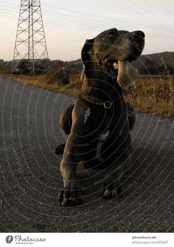 Dog Large Might Pet Mammal Tongue Mastiff