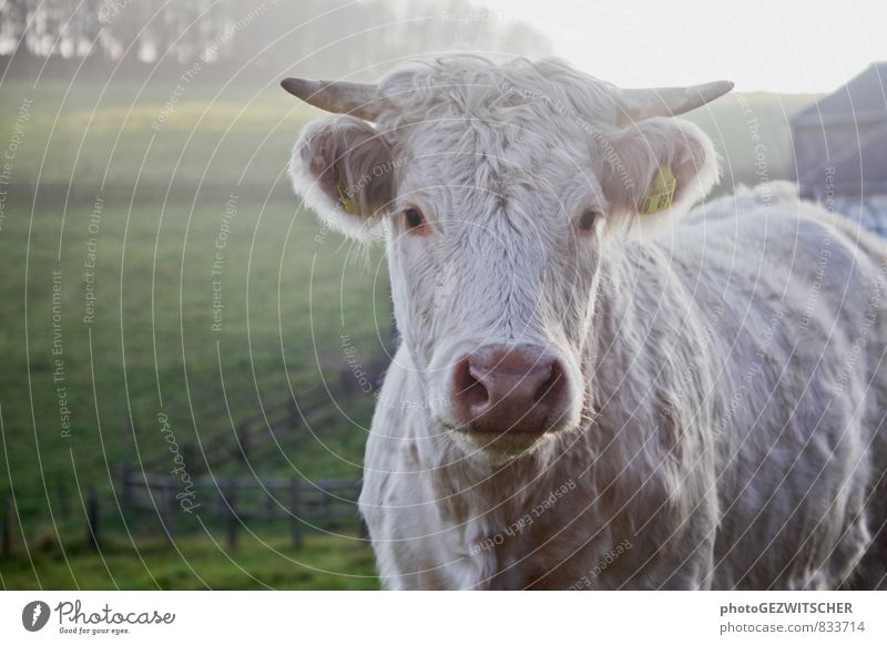 cow Animal Farm animal Cow 1 Discover Idyll Nature Curiosity Moody Environment Contentment Agriculture Country life Autumnal Colour photo Exterior shot Deserted