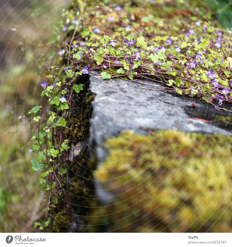 Wallflowers and moss grow over old wall in Scotland Moss Scottish nature Nordic Nordic nature Old fashioned wallflower Nordic wild plants Nordic romanticism