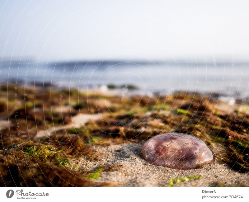 aground Nature Landscape Sand Water Sky Cloudless sky Summer Plant Coast Baltic Sea Animal Jellyfish 1 Blue Brown Red Seaweed Algae Ocean Lion's mane jellyfish