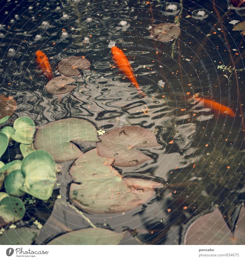 cost.bar | goldfish Nature Elements Water Summer Plant Leaf Waves Pond Animal Fish 3 To feed Feeding To enjoy Swimming & Bathing Fish food Goldfish
