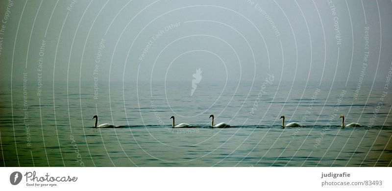 Five Swans Lake Ocean Bird Calm 5 Ornithology Environment Fog Wilderness Serene Beautiful Baltic Sea Water Row Sky Nature opacity Float in the water