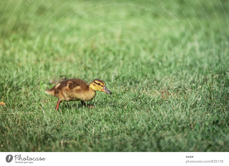 In the duck march ahead ... Joy Happy Summer Nature Animal Spring Grass Meadow Wild animal 1 Baby animal Cuddly Small Curiosity Cute Yellow Green Emotions
