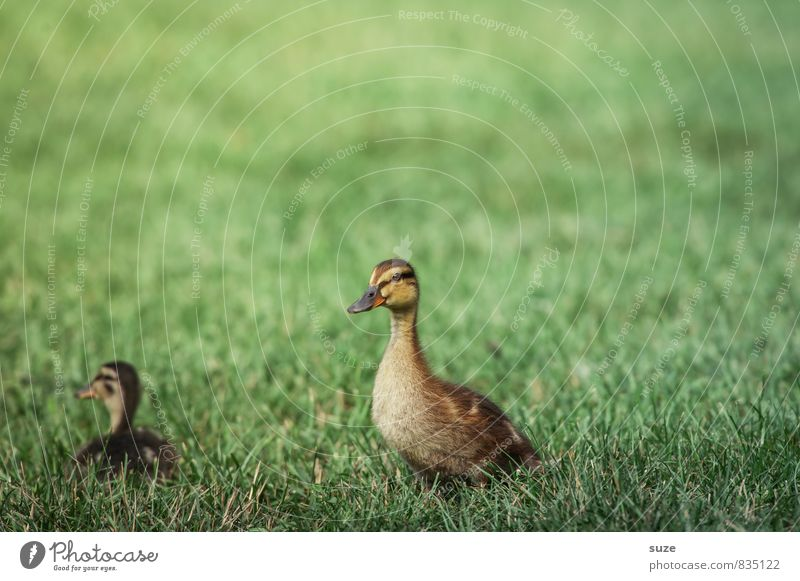 Celebrity duck Joy Happy Summer Nature Animal Spring Grass Meadow Wild animal 2 Baby animal Cuddly Small Curiosity Cute Yellow Green Emotions