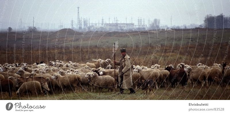 The shepherd and globalisation Globalization Shepherd Sheep Converse Ukraine Craft (trade) guard sb./sth. Far-off places keep an eye on things