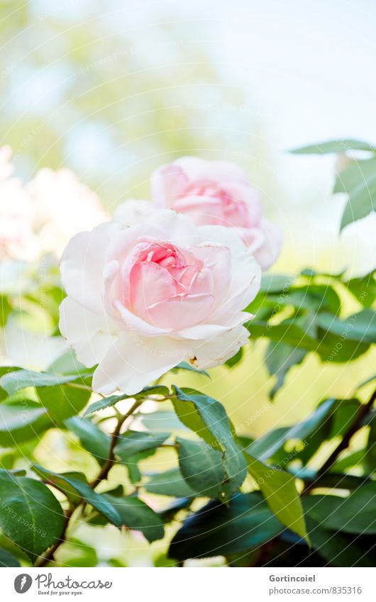rosy Nature Plant Summer Beautiful weather Flower Rose Leaf Blossom Green Pink Rose blossom Rose leaves Colour photo Exterior shot Copy Space top Day Light