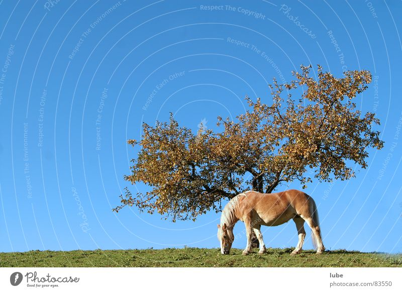 Sky Tree Green Autumn Meadow Grass Horse Farm Agriculture Pasture Tree trunk Alpine pasture Mountain meadow Canopy (sky) Haflinger