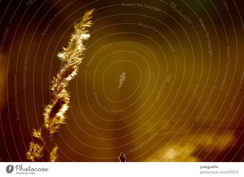 light Lake Grass Yellow Stalk Blade of grass Ear of corn Glittering Moody Beautiful Soft Hissing Meadow Delicate Flexible Sensitive Pennate Feeble Autumn Sun