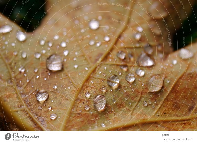 Nature Water Tree Leaf Dark Autumn Rain Moody Brown Drops of water Wet Rope Damp Transparent Vessel Rachis