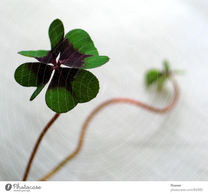 You're lucky Plant Flower Clover Botany Part of the plant Gambler Stalk Happy Florist Congratulations cloverleaf four-leaf clover Chimney sweep derivative