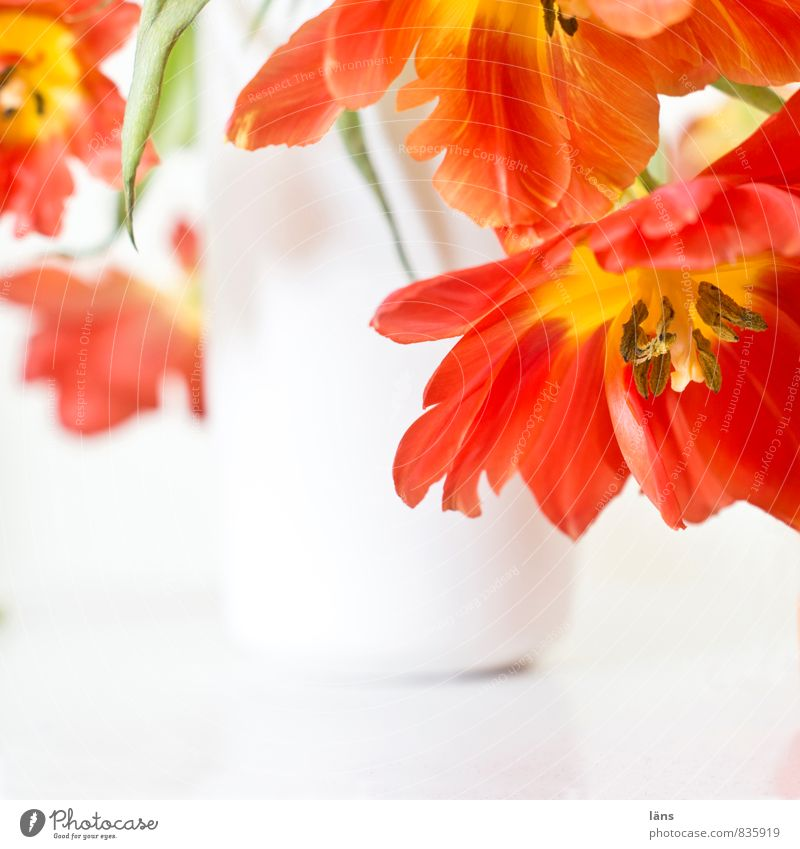 flowering transition Plant Tulip Blossoming Hang Faded Esthetic Red White Ease Flower vase Bright Bouquet Decoration Living or residing Embellish Interior shot