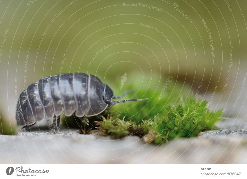 Off to the countryside Environment Nature Landscape Plant Animal Summer Beautiful weather Wild animal 1 Gray Green Pill bug Isopod Insect Moss Colour photo