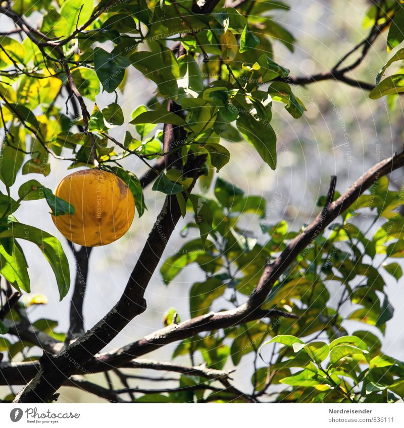 Plant Green Tree Yellow Healthy Food Fruit Fresh Climate To enjoy Nutrition Italy Agriculture Pure Harvest Organic produce