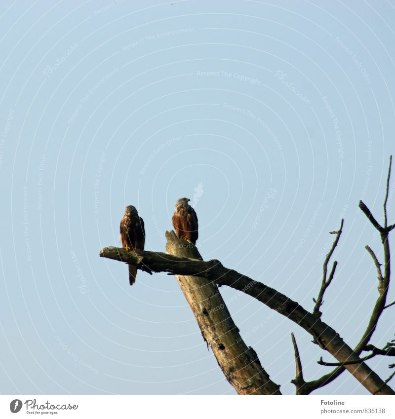 Hey, look over there! Environment Nature Plant Animal Elements Air Sky Cloudless sky Beautiful weather Tree Wild animal Bird 2 Natural Red kite Branch