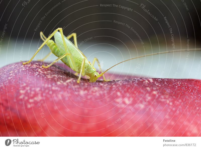 small snack Environment Nature Animal 1 Free Small Natural Green Red Locust House cricket Legs Feeler To feed Peach Colour photo Multicoloured Exterior shot