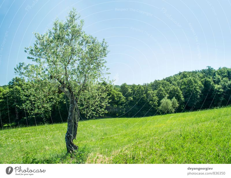 Olive tree in Italy Fruit Summer Garden Culture Nature Landscape Plant Sky Tree Grass Hill Old Natural Green Idyll olive Tuscany agriculture field Farm Rural