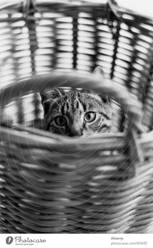 camouflage Basketball basket Mammal cat animal pet black&white rye hiding hidden eyes fun