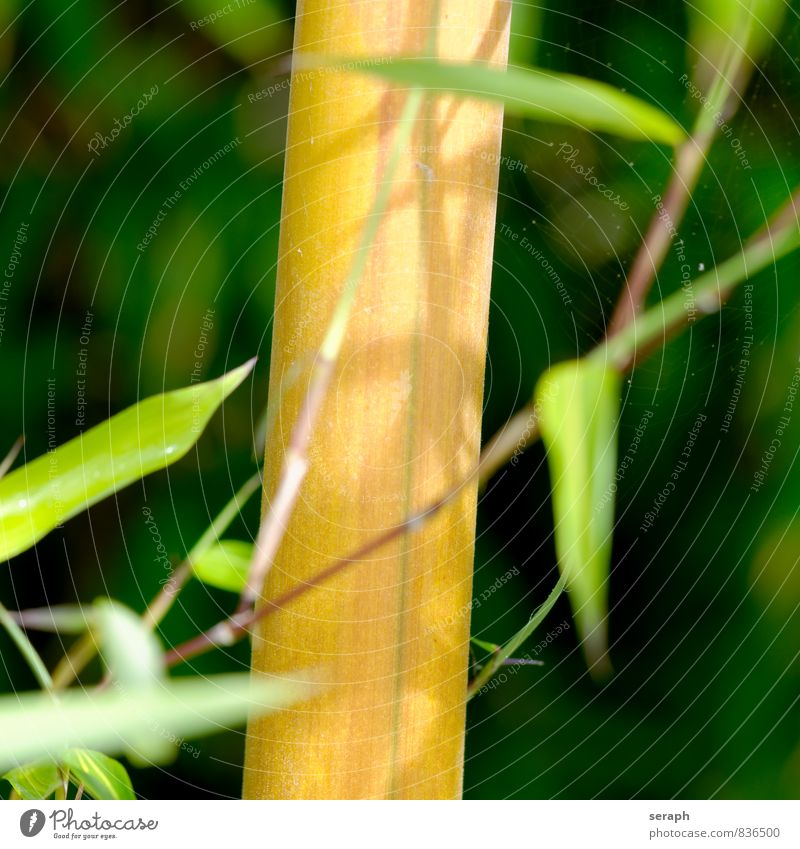 Bamboo Plant Grass Nature Growth Green Twig stem Garden Leaf Botany Bushes Floral Background picture Asia Asians Bamboo shoots Bamboo stick Feng Shui Branch
