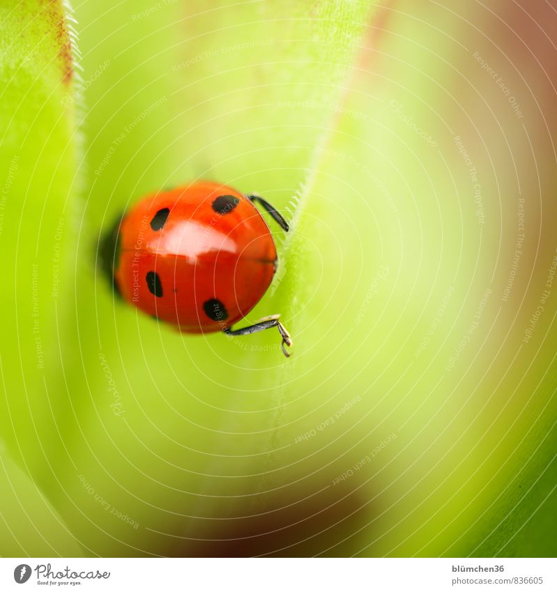 You've been lucky 200 times. Animal Wild animal Beetle Seven-spot ladybird Ladybird 1 Crawl Walking Sit Small Natural Round Beautiful Green Red Black Happy