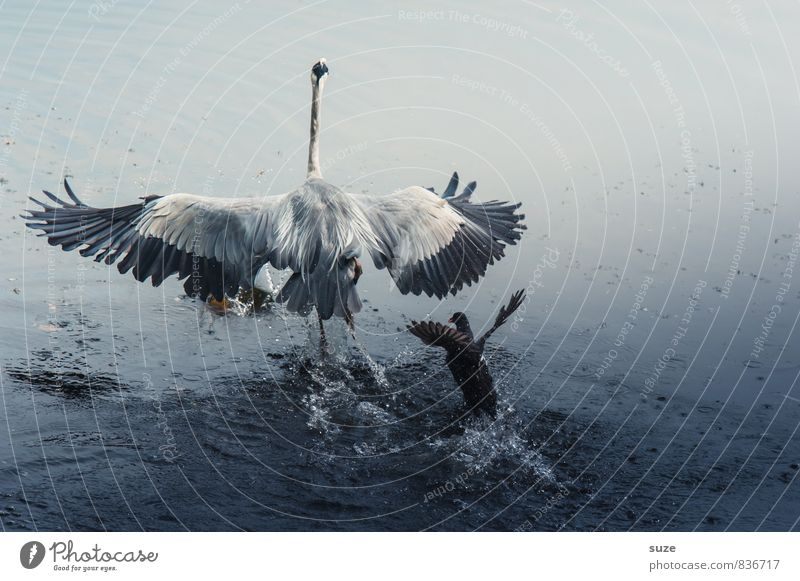 PARANOIA Elegant Hunting Nature Landscape Animal Water Pond Lake Wild animal Bird Wing 2 Flying Scream Argument Esthetic Authentic Fantastic Natural Blue Heron
