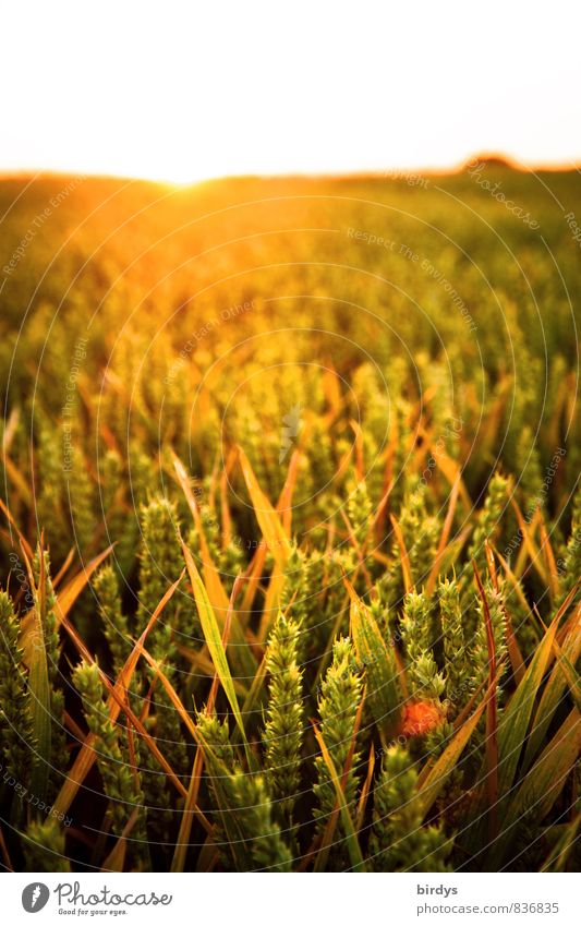 Nature Summer Sun Warmth Horizon Field Growth Illuminate Beautiful weather Agriculture Ecological Positive Sustainability Organic farming Forestry