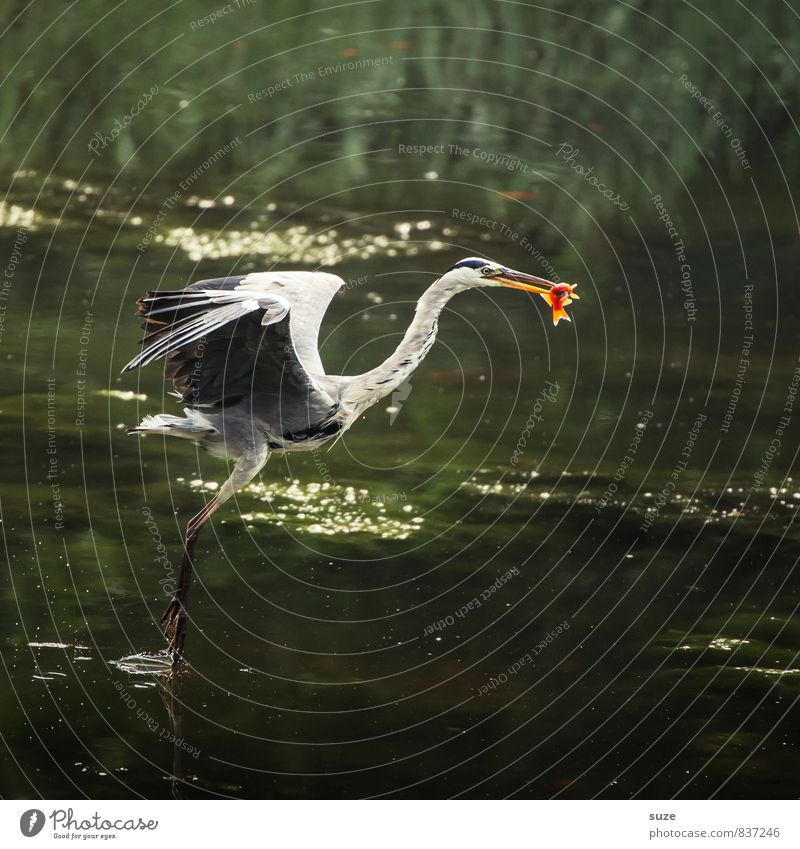 He who has can. Hunting Environment Nature Landscape Animal Water Pond Lake Wild animal Bird Fish 1 Movement Flying To feed Authentic Fantastic Natural Green