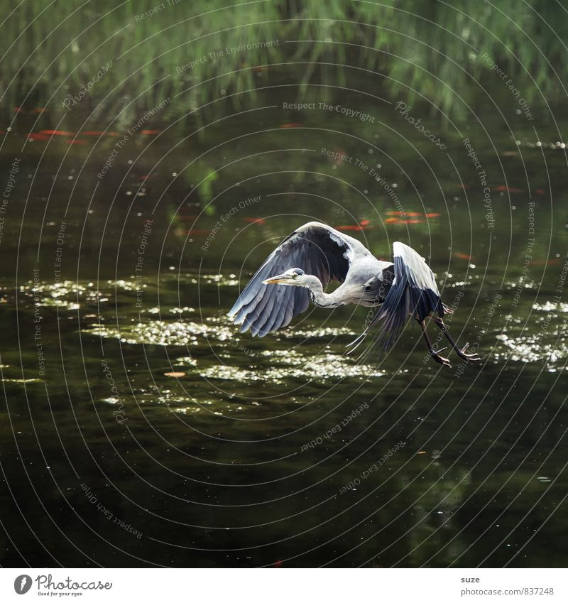 Mr Strese takes off through ... Elegant Hunting Nature Landscape Animal Water Lakeside Pond Wild animal Bird Wing Movement Flying Glittering Esthetic Authentic