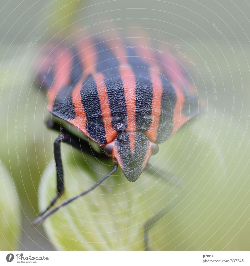 nicely striped Environment Nature Animal Wild animal Beetle 1 Red Black Stripe Bug Insect Colour photo Exterior shot Close-up Macro (Extreme close-up) Deserted